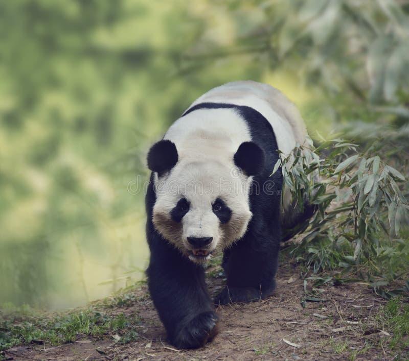 Download Urso de panda gigante foto de stock. Imagem de branco - 65580358