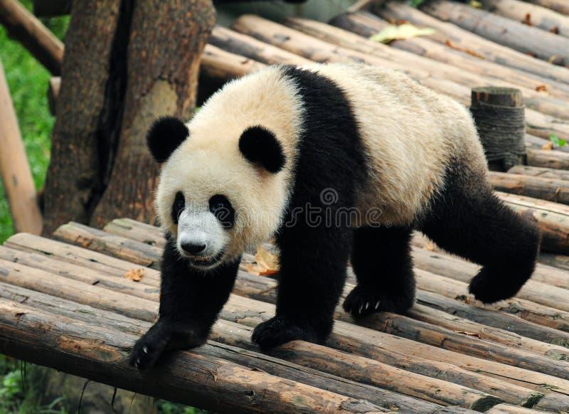 Urso de panda gigante de passeio imagens de stock
