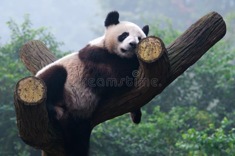 Urso de panda gigante do sono fotos de stock
