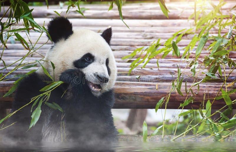 Urso de panda gigante que banha e que come o bambu no sol imagens de stock royalty free