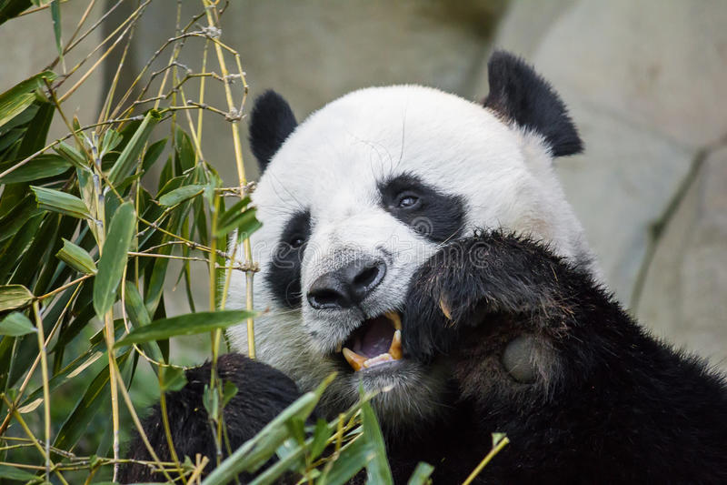 Urso de panda gigante que come o bambu imagens de stock royalty free