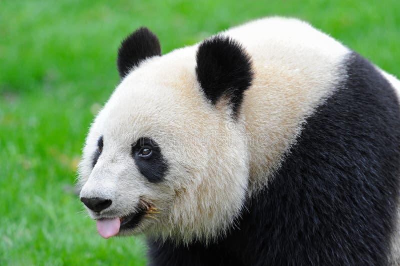 Urso de panda gigante que fura para fora a lingüeta fotografia de stock royalty free