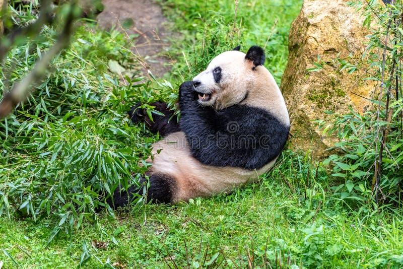 Urso de panda que come a luz no seu para trás imagem de stock