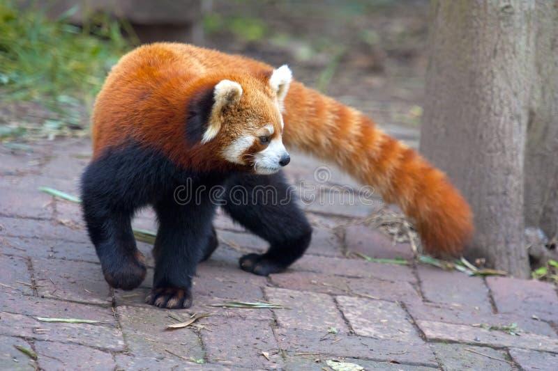 Urso de panda vermelha curioso fotos de stock
