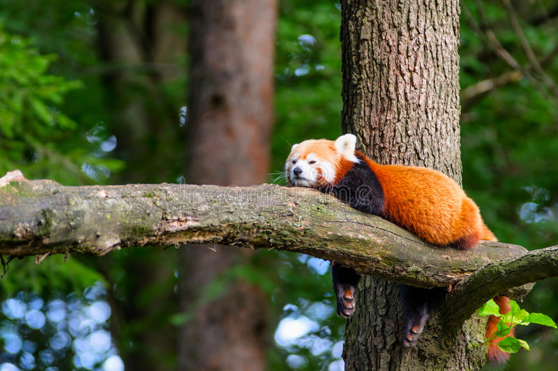 Urso de panda vermelha preguiçoso na árvore foto de stock royalty free