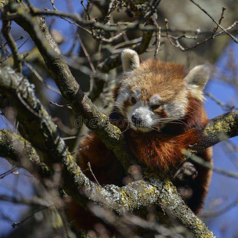 Urso de panda vermelha vibrante bonito na árvore que tenta dormir ailurus foto de stock