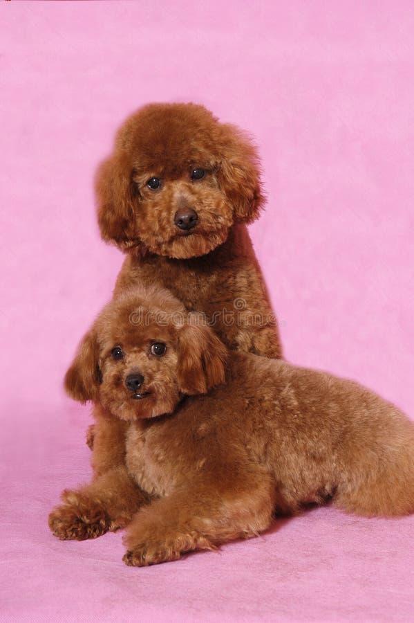 Urso de peluche da caniche do brinquedo fotografia de stock