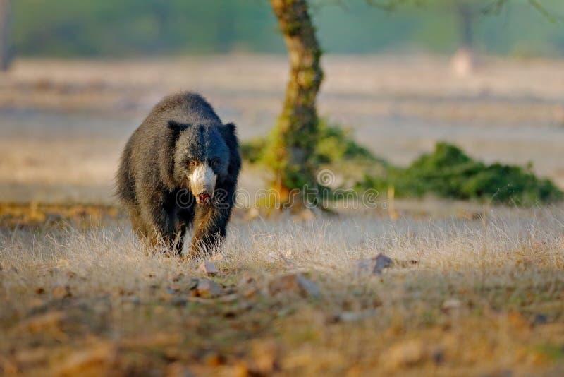 Urso de preguiça, ursinus do Melursus, parque nacional de Ranthambore, Índia Habitat selvagem da natureza do urso de preguiça, fo fotografia de stock