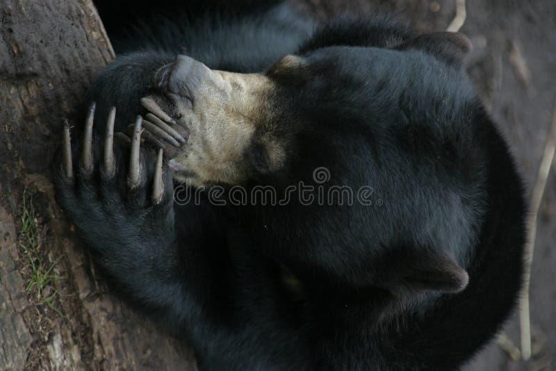Urso de riso fotografia de stock