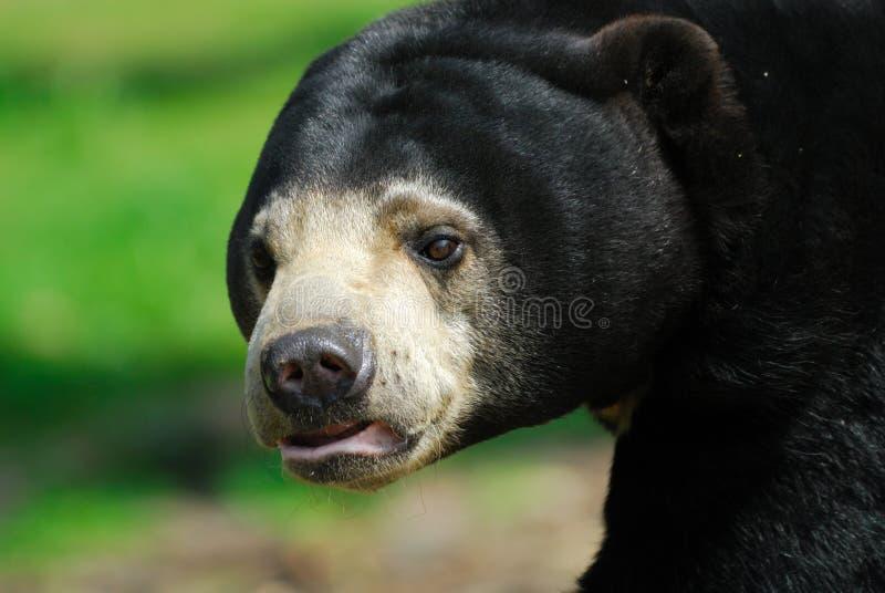 Urso de Sun (malayanus de Helarctos) fotos de stock