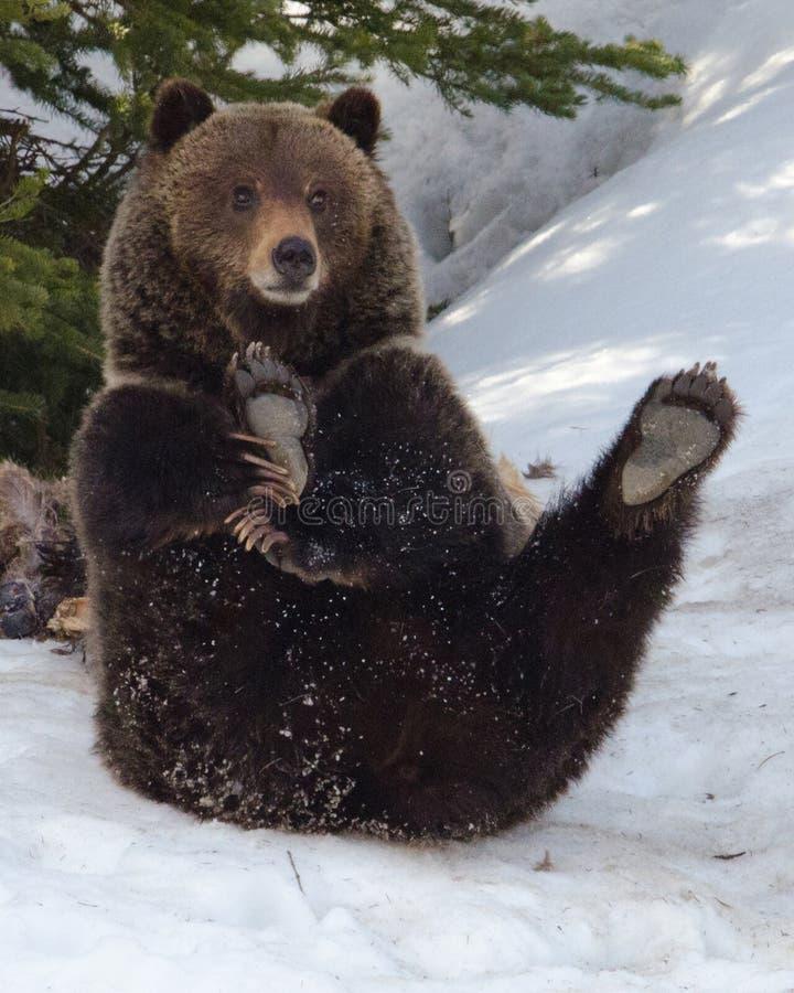 Urso do circo imagem de stock