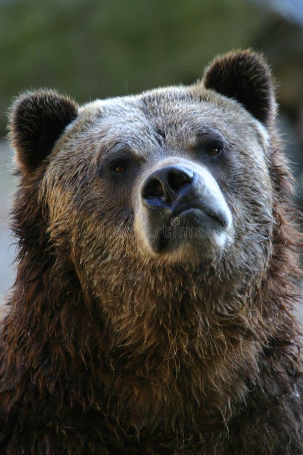 Urso do urso imagens de stock