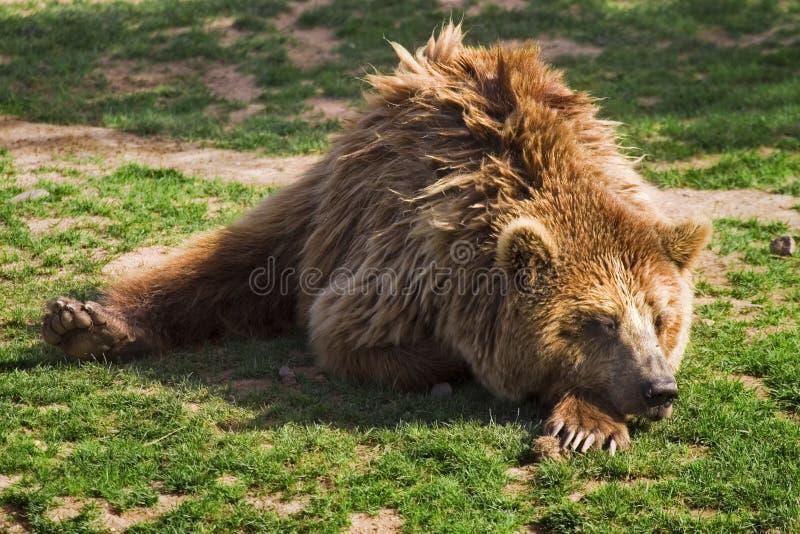 Urso do urso imagem de stock royalty free