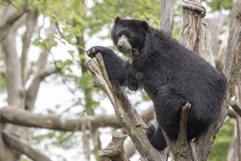 Urso do urso de Brown imagens de stock royalty free