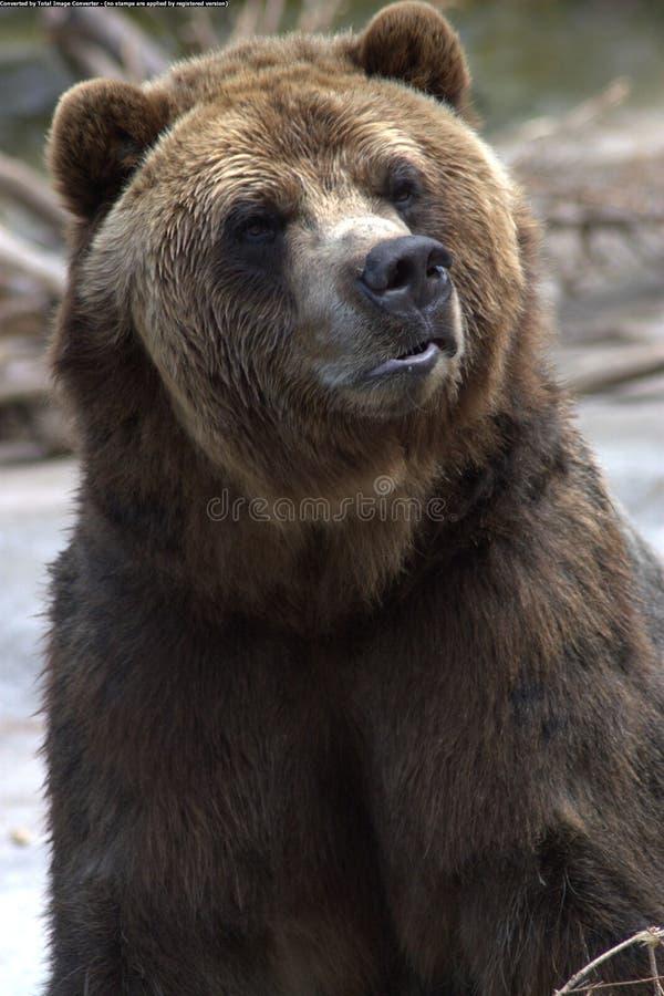 Urso do urso que olha direito imagens de stock royalty free