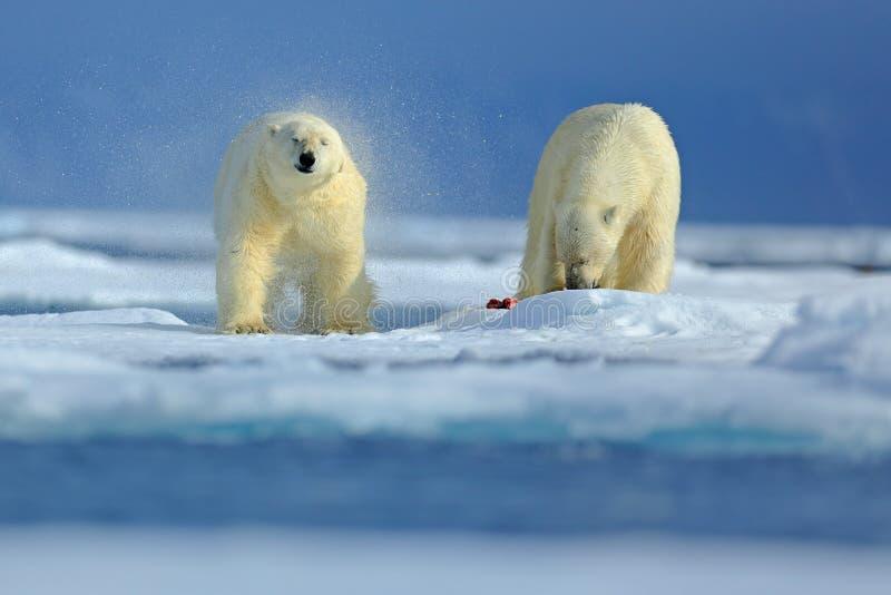 Urso dois polar no gelo de tração em Rússia ártica Ursos polares no habitat da natureza Urso polar com neve Urso polar com wate d fotos de stock royalty free