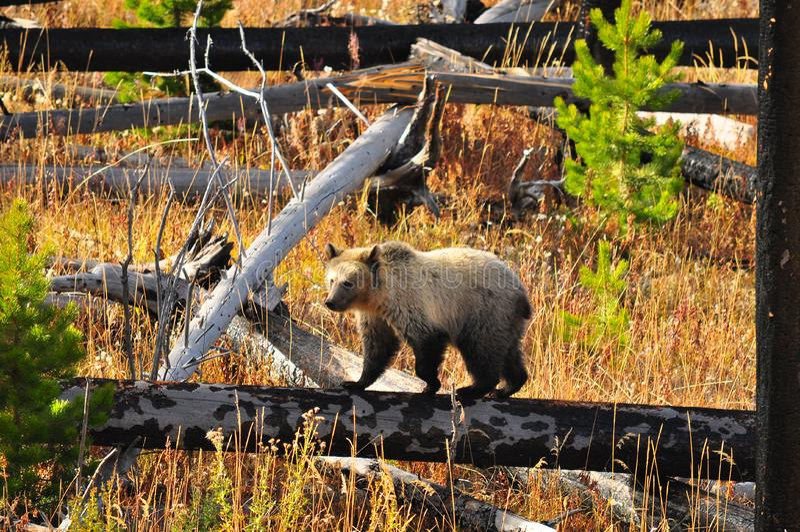 Urso dos jovens no parque nacional de Yellowstone foto de stock