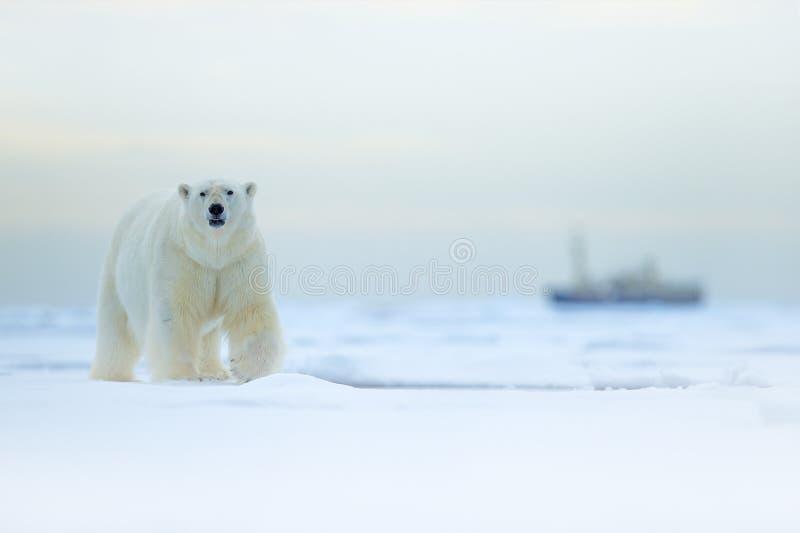 Urso e barco Urso polar no gelo de derivação com neve, embarcação borrada do cruzeiro no fundo, Svalbard, Noruega Cena dos animai fotos de stock