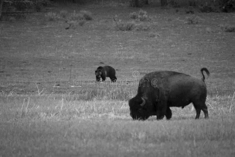 Urso e bisonte fotografia de stock