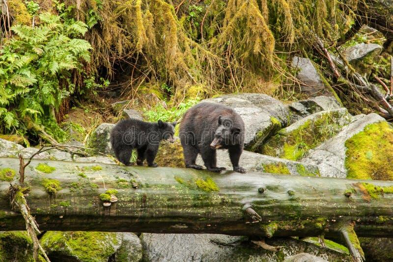 Urso e Cub fêmeas fotos de stock royalty free