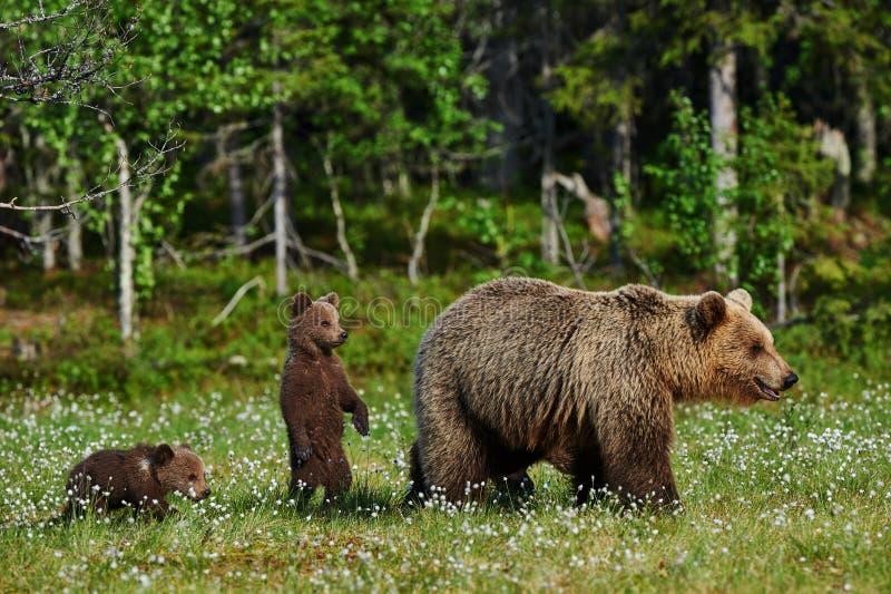 Urso e Cubs da mãe imagem de stock royalty free