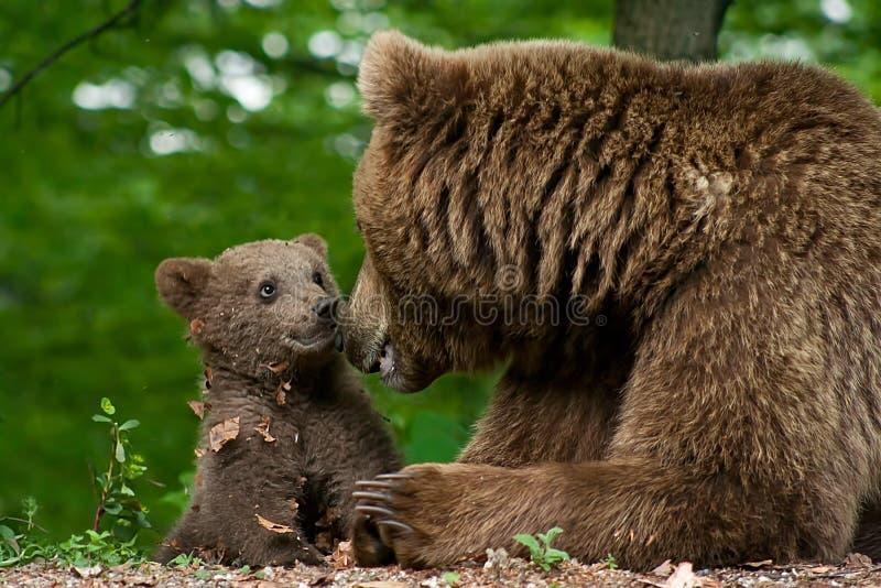 Urso e filhote de Brown imagem de stock royalty free
