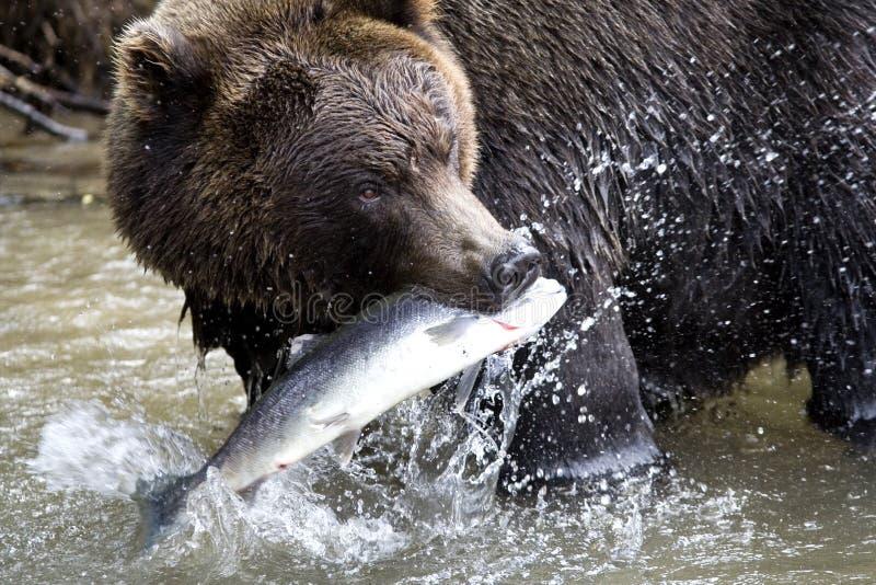 Urso e peixes de Brown imagem de stock
