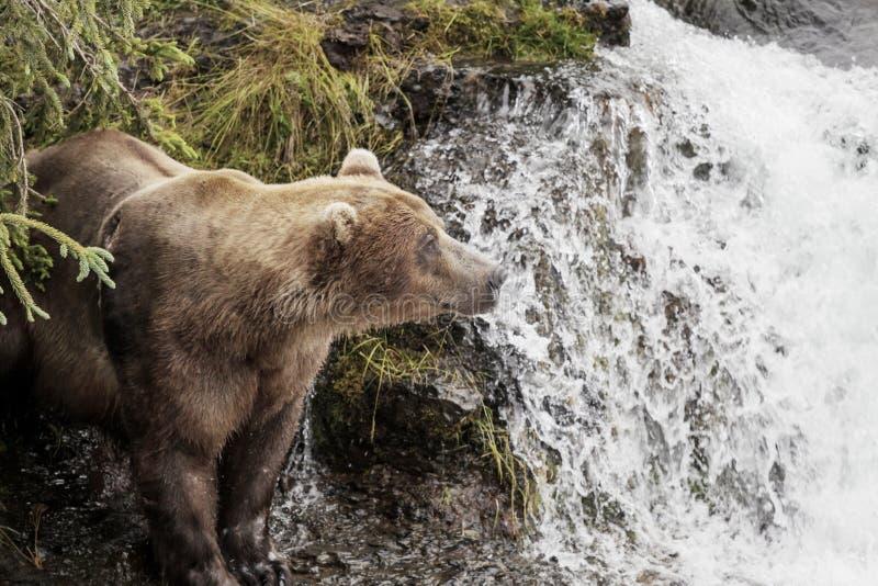 Urso em Alaska fotos de stock