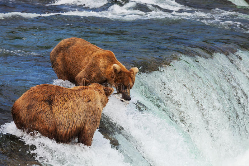 Urso em Alaska fotos de stock royalty free