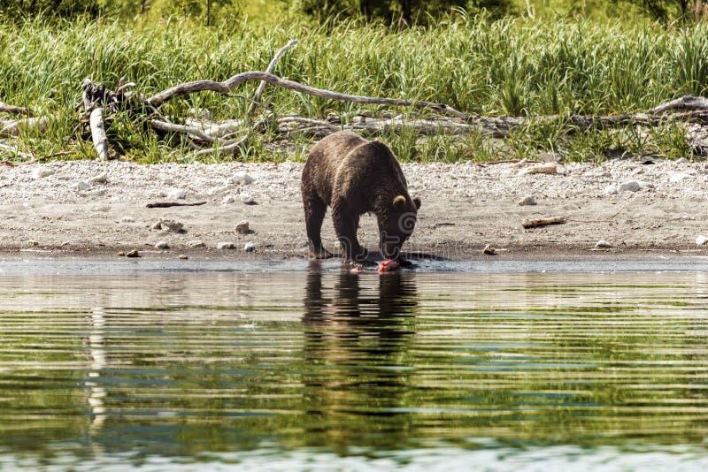 Urso em Kamchatka Um urso marrom na ?gua em Kamchatka, R?ssia imagem de stock royalty free