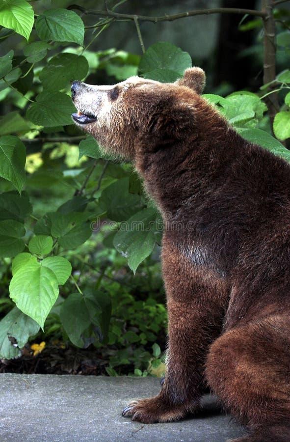 Urso em Safari Park Indonesia fotografia de stock royalty free