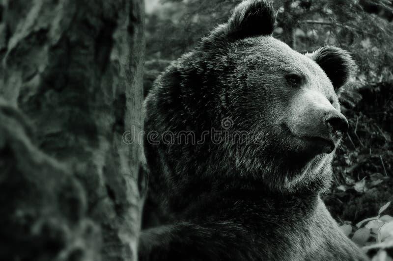 Urso europeu fotografia de stock