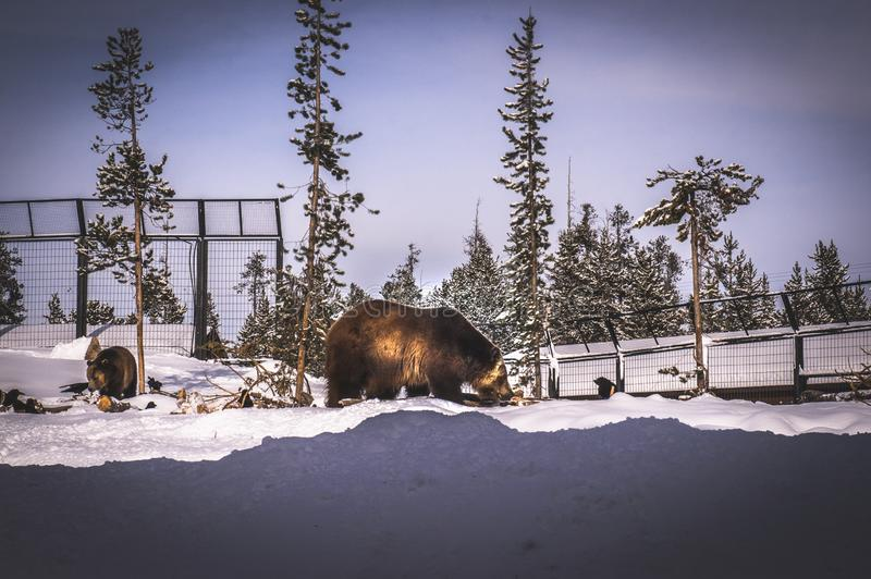 urso Grizzly no Centro de Descoberta Grizzly & Wolf fotografia de stock royalty free