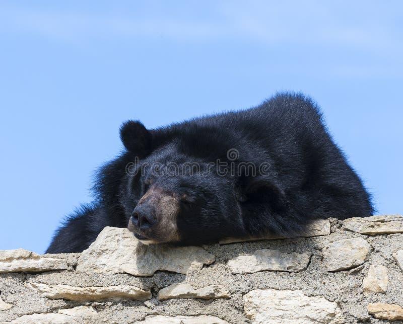Urso Himalaia no urso Himalaia em Safari Park, França imagens de stock