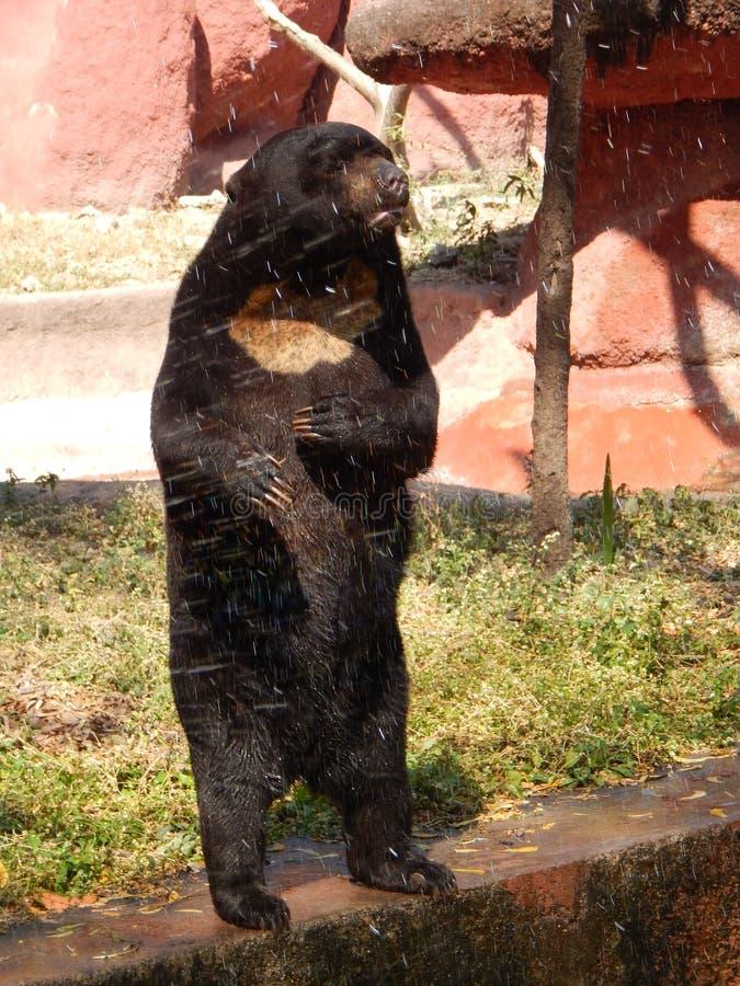 Urso indiano foto de stock
