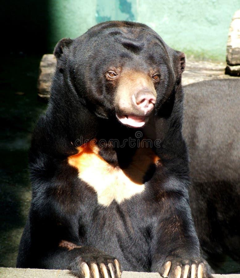 Urso malaio imagem de stock royalty free