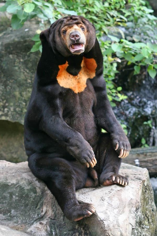 Urso Malayan de Sun fotografia de stock