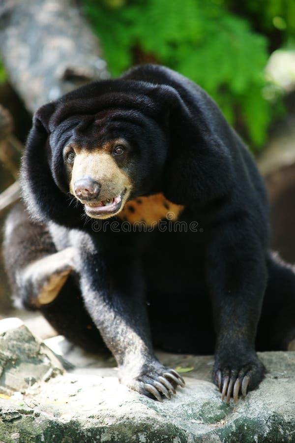 Urso Malayan do sol foto de stock royalty free
