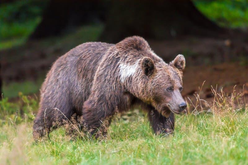 Urso marrom da mamãe imagens de stock