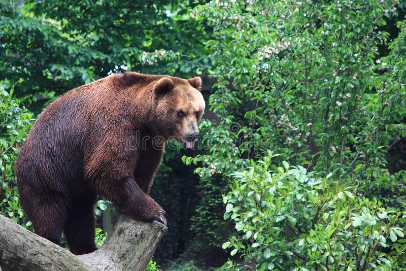 Urso marrom de Kamchatka fotos de stock royalty free