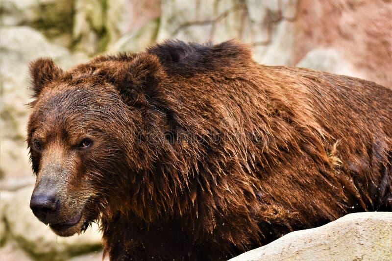 Urso marrom de Kamchatka, beringianus dos arctos do ursus fotos de stock