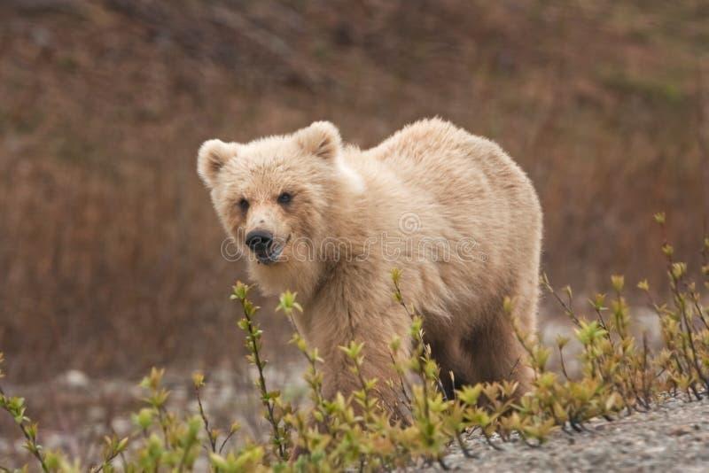 Urso marrom de Kamchatka, beringianus dos arctos do ursus fotografia de stock royalty free