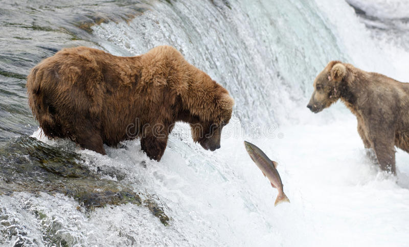Urso marrom do Alasca imagem de stock royalty free