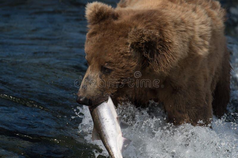 Urso marrom do Alasca com salmões fotografia de stock royalty free