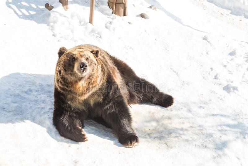 Urso marrom do Hokkaido no parque do urso de Noboribetsu durante o inverno Japão foto de stock royalty free