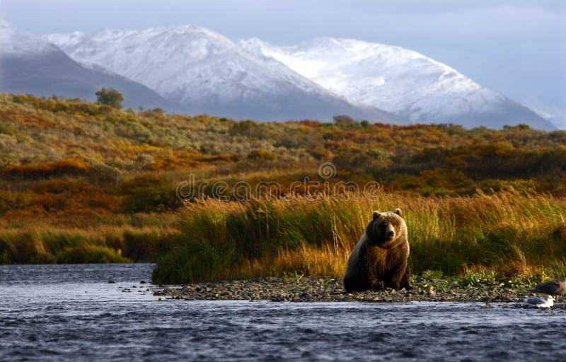 Urso marrom do Kodiak foto de stock royalty free