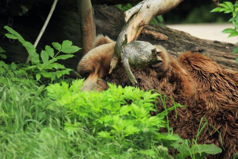 Urso marrom do Kodiak imagens de stock