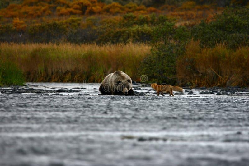 Urso marrom e raposa do Kodiak fotografia de stock royalty free