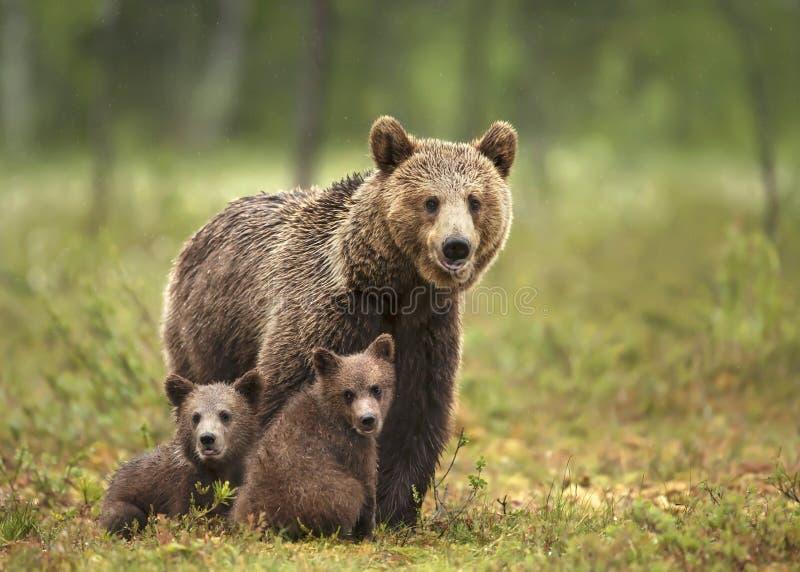 Urso marrom euro-asiático fêmea e seus filhotes na floresta boreal imagens de stock