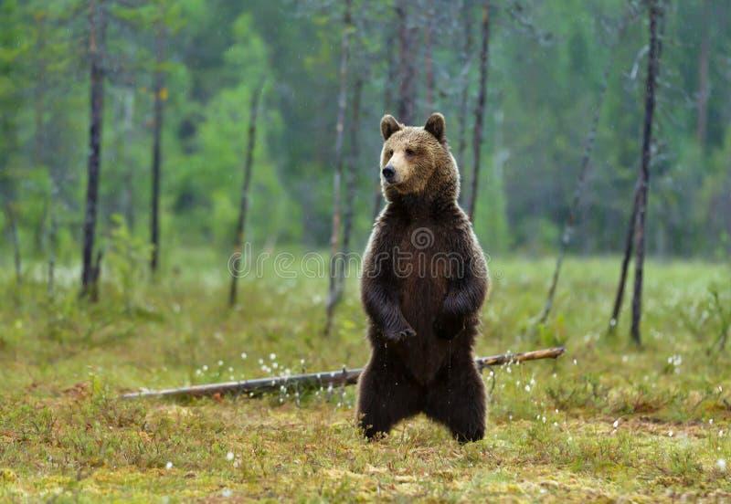 Urso marrom euro-asiático que está nos pés traseiros foto de stock royalty free